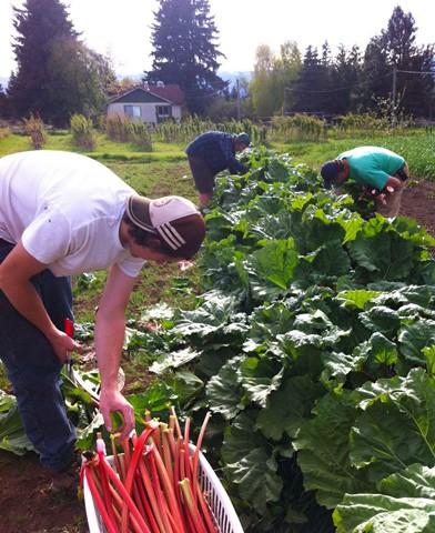Rhubarb Pickers