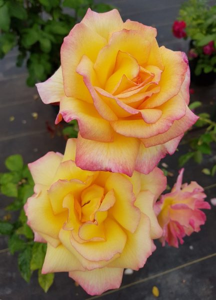 Bella'roma – Hybrid Tea