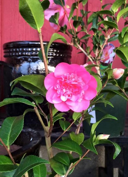 Camellia Pearl Maxwell