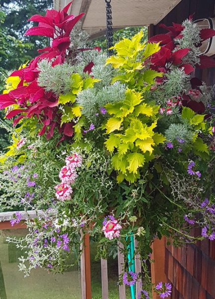 Coleus Mixed Basket