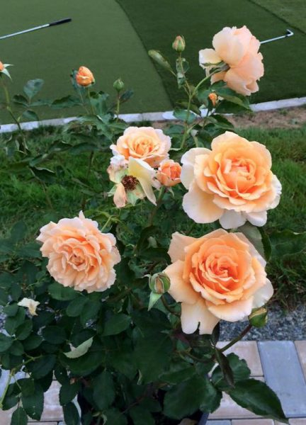 Just Joey – Hybrid Tea