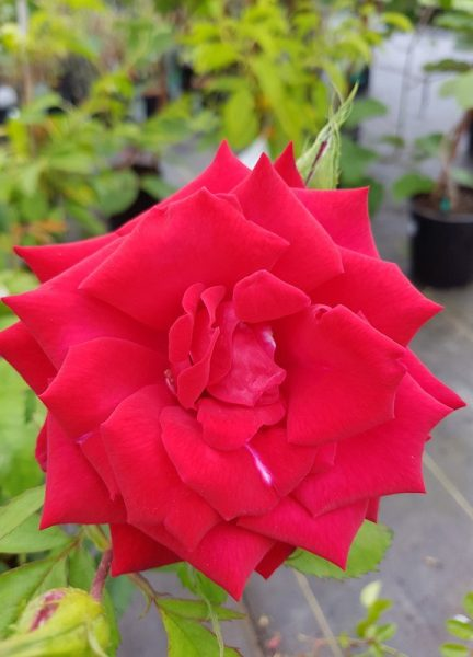 Royal William – Hybrid Tea