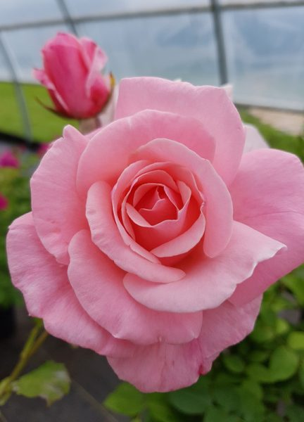 Sweet Surrender – Hybrid Tea