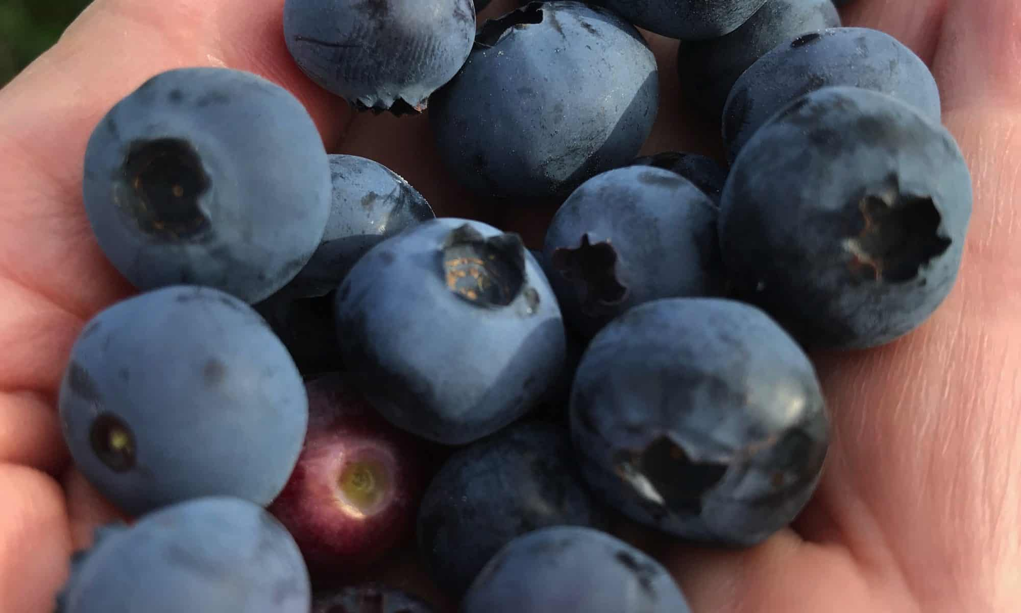 Blueberry Handful