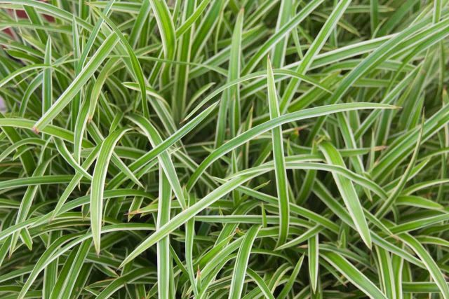 Carex morrow 'Ice Dance'