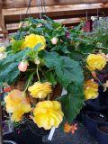 Yellow Begonia Basket