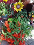 Begonias & Fuchsias