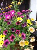 Cascadias Petunias & Thunbergia