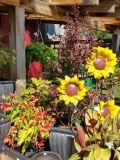 Metal Sunflowers in Display