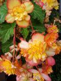 Picotee Begonia Basket