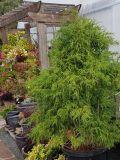 Threadgold Cypress
